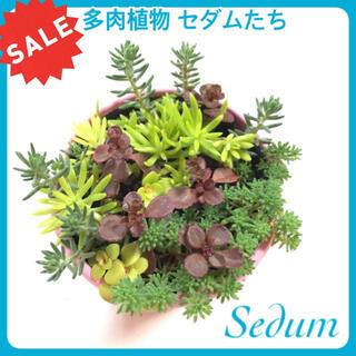 セール 自力で育つ 多肉植物 セダム など 観葉植物 苗 育てやすい (プランター)