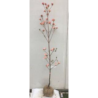 《現品》花水木(ハナミズキ)ピンク花 樹高1.6m(根鉢含まず)02【苗木】(その他)