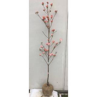 《現品》花水木(ハナミズキ)ピンク花 樹高1.6m(根鉢含まず)03【苗木】(その他)