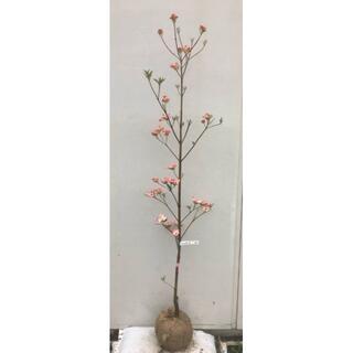 《現品》花水木(ハナミズキ)ピンク花 樹高1.6m(根鉢含まず)04【苗木】(その他)