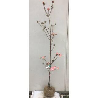 《現品》花水木(ハナミズキ)ピンク花 樹高1.6m(根鉢含まず)05【苗木】(その他)