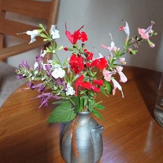 花種  サルビア  コクシネア  4色(その他)