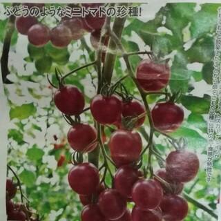 グレープトマト トスカーナバイオレット 種 30粒(野菜)
