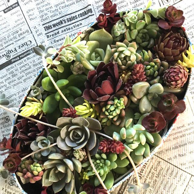 彩り多肉 13種 (セダム付き) ハンドメイドのフラワー/ガーデン(その他)の商品写真