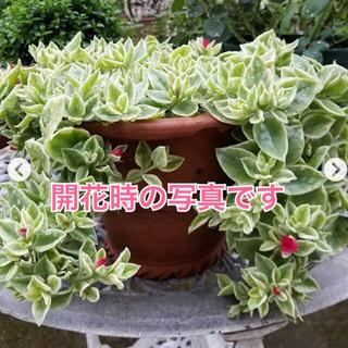 【多肉植物を育ててみませんか❤️幸運の花】斑入り ベビーサンローズ 2本 抜き苗(その他)