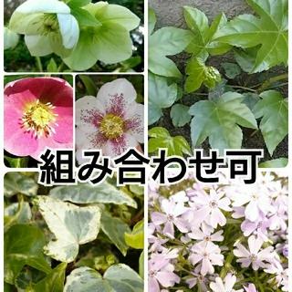 植物の苗、挿し穂(その他)