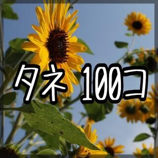 大雪山ひまわりの種100粒 シロタエヒマワリの種 銀葉ひまわりの種(その他)
