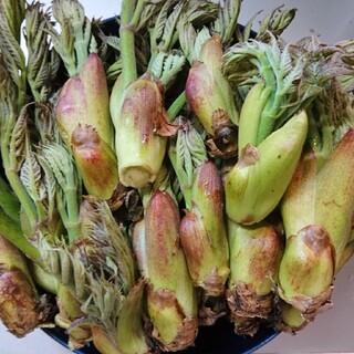 タラの芽500㌘(野菜)