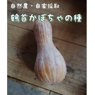 自然農・自家採取 鶴首かぼちゃの種(野菜)