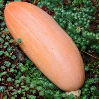 カボチャ banana pink jumbo 種子(野菜)
