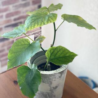 観葉植物 フィカス・ウンベラータ セメント鉢カバー付き3(その他)