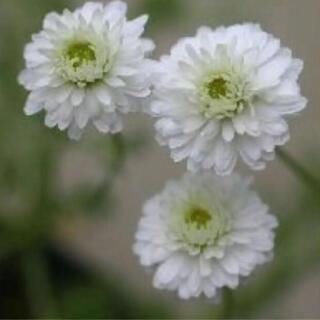 (ᵔᴥᵔ)Cダブルフラワーカモミール♡ハーブ♡可愛いお庭♡ベランダガーデン♡(その他)