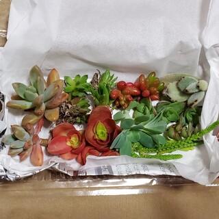 ✤多肉植物✤ ミックスパック カット苗中心(その他)