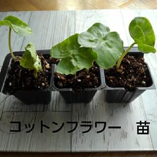 綿花 コットンフラワーの苗 ×3(その他)