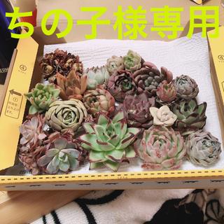 ちの子様専用 韓国多肉植物19種セット❤お名前つけます(その他)