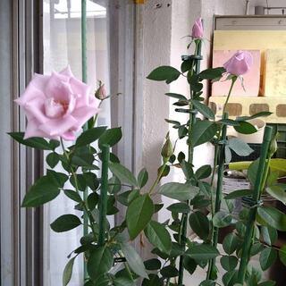 薔薇【接ぎ木新苗】マダムヴィオレ【マダムビオレ】(その他)