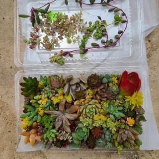 多肉植物カット苗‼️完売‼️ 寄せ植え ②たっぷりモリモリ💪(その他)
