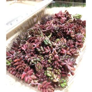 多肉植物 赤く紅葉するセダム コーラルカーペット 苗70個 即購入歓迎(その他)