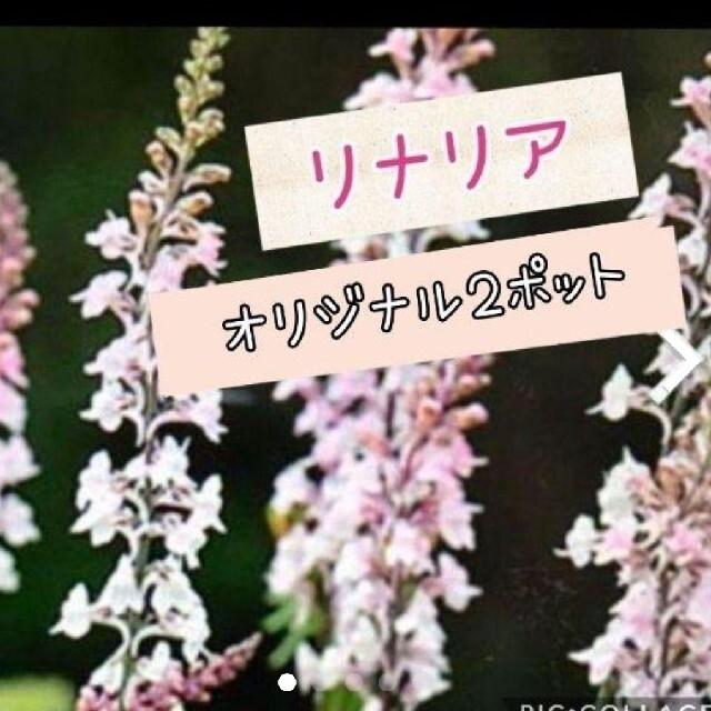 800円セット リナリア   ハンドメイドのフラワー/ガーデン(その他)の商品写真
