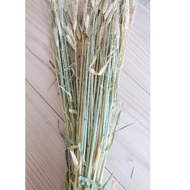 麦の穂。おうち時間に!サービス中 ハンドメイドのフラワー/ガーデン(ドライフラワー)の商品写真