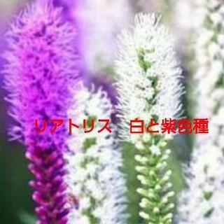 白と紫色のリアトリス種 たねの販売です(その他)