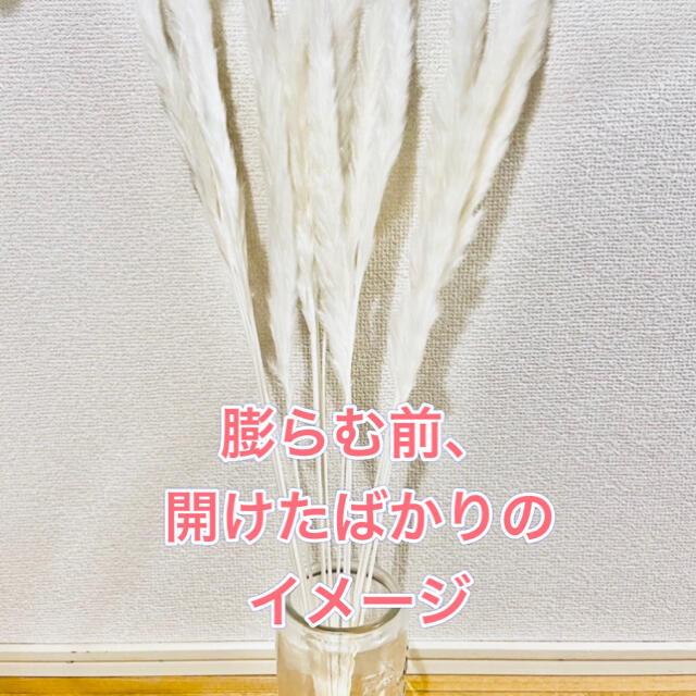 パンパスグラス ブラウン15本入 送料込み ドライフラワー 観葉植物 ハンドメイドのフラワー/ガーデン(ドライフラワー)の商品写真