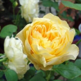 薔薇の苗(プランター)