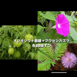 三種セット オジギソウ/朝顔/フウセンカズラ(その他)