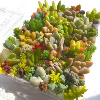 多肉植物 セダム⭐︎その他カット苗パック 15種類以上 15(その他)