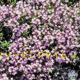 クリーピングタイム 種 ピンクの花がかわいいハーブ(その他)