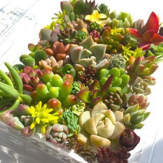 多肉植物 セダム⭐︎その他カット苗パック 15種類以上 16(その他)