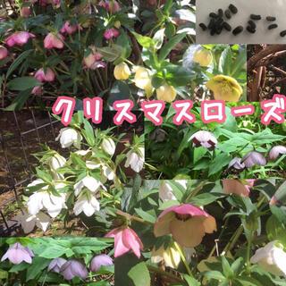 73)クリスマスローズ種子15粒(タネ自家採種花植物(その他)