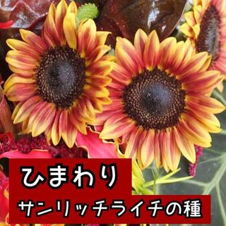 ひまわりサンリッチライチ種10個(その他)