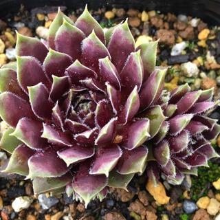 ブラックプリンス1つセンペルビウム多肉植物(その他)