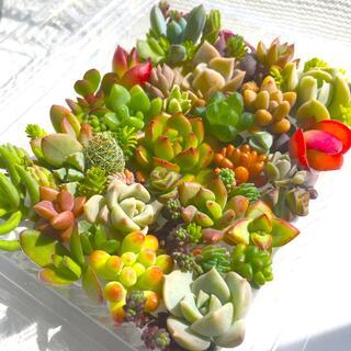 多肉植物 セダム⭐︎その他カット苗パック 15種類以上 17(その他)