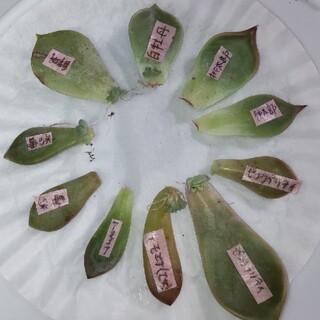 多肉植物 葉挿し 5種類 10枚(その他)