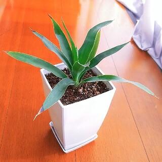 ドラセナ☆ユッカ エレファンティペス☆幸福の木☆観葉植物(プランター)