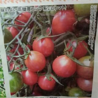 シュガリーテール 種のみ トマト 種子(野菜)