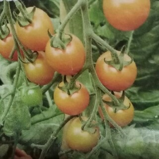 カラフルトマト 種(野菜)