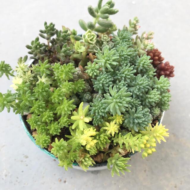 多肉植物 カット苗 寄せ植え 抜き苗 ハンドメイドのフラワー/ガーデン(その他)の商品写真