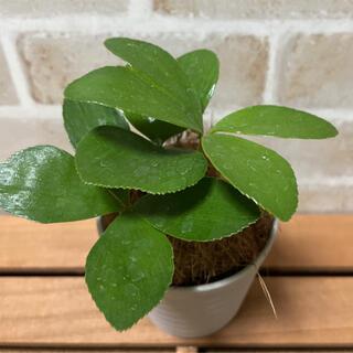 四つ葉のザミア ミニ 観葉植物 珍しい インテリア ガーデニング ポット苗(その他)