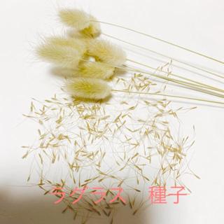 ラグラス 種子 種 100個以上(その他)