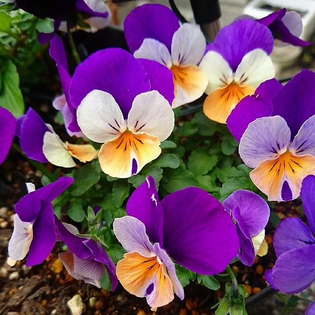 ピーチジャンプアップ ビオラ 種 園芸 ガーデニング ハンドメイドのフラワー/ガーデン(プランター)の商品写真