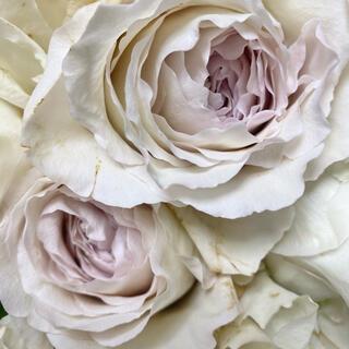希少 バラ苗 シルバーパープル色 ブルー強香 切花品種 薔薇(その他)