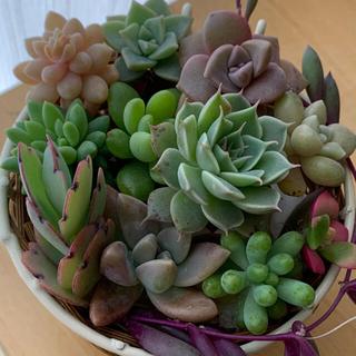 多肉植物 13種類 カット苗(その他)