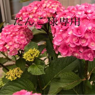 紫陽花 筑紫ルビー苗(その他)
