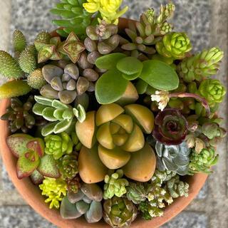 春色・多肉植物 寄せ植え用 カット苗φ6.5cm-❶(その他)