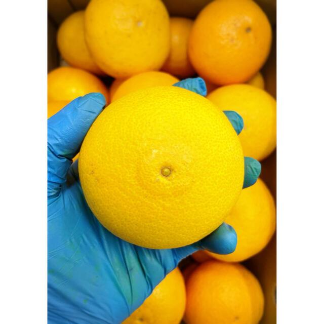 あまあまトロトロ!!酸味少なっ!!【三崎タンゴール】2Lサイズ 5kg 食品/飲料/酒の食品(フルーツ)の商品写真