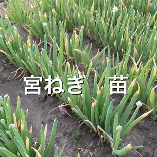 ねぎ苗 50本 USAPIKO様専用(野菜)
