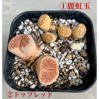多肉植物 リトープス 麗虹玉 トップレッド 抜き苗(その他)